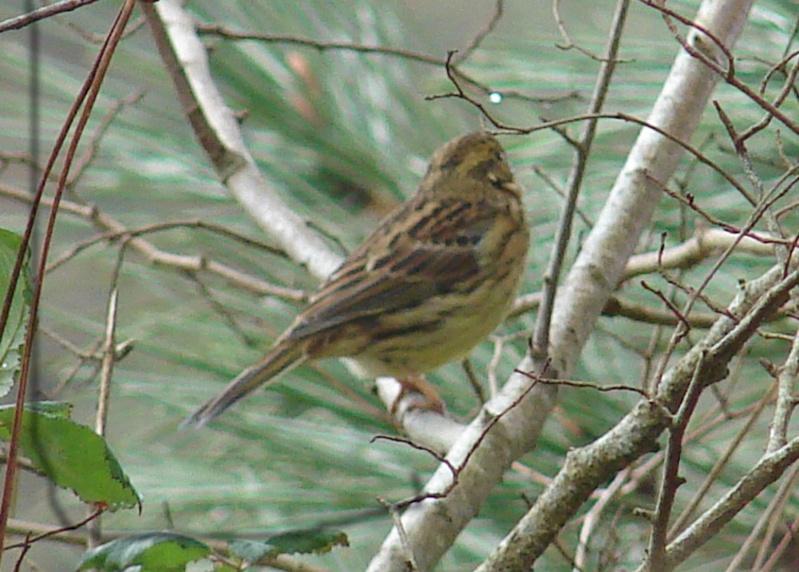 Identification oiseaux Bruant12