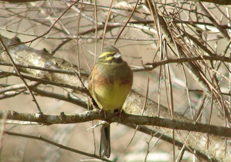 Identification oiseaux Bruant13