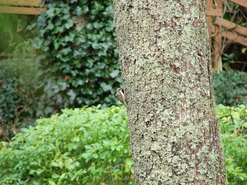 Identification oiseaux Grimpe11