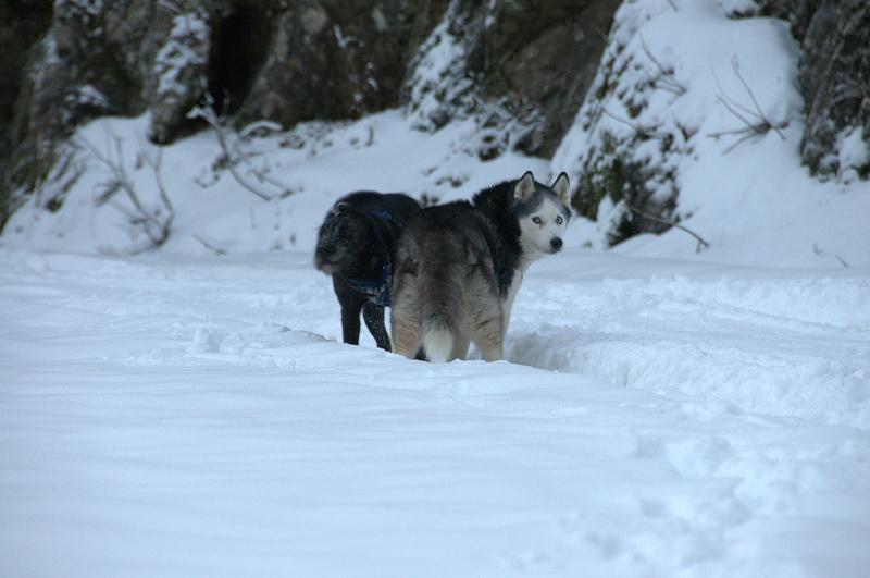 Andrea, siberian hushky,11 ans (58)   DECEDEE - Page 3 Andrea13