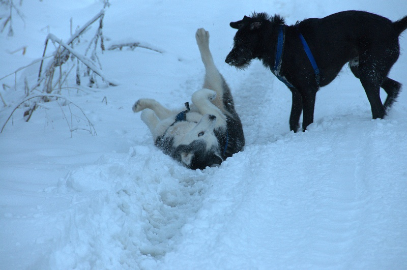 Andrea, siberian hushky,11 ans (58)   DECEDEE - Page 3 Andrea14