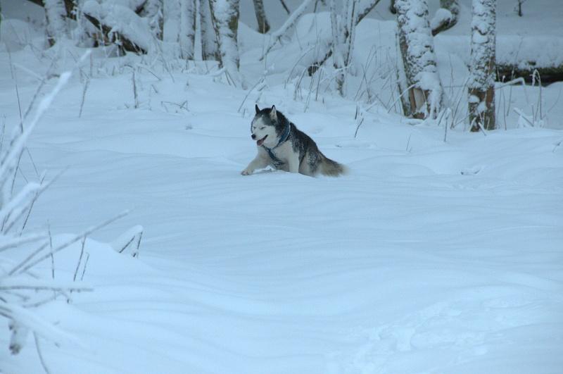 Andrea, siberian hushky,11 ans (58)   DECEDEE - Page 3 Andrea16