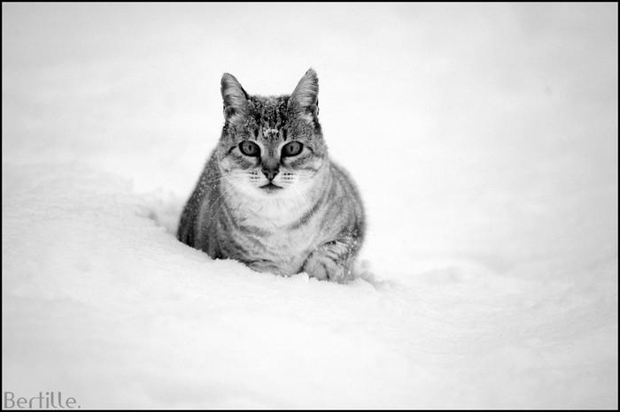 Panthère des neiges. Photog12