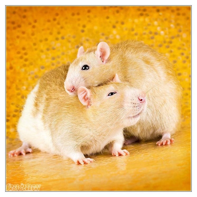 Qui a un rat Velours? _mg_4510