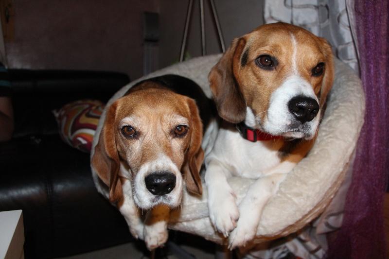 Cherche Famille pour adopter mon beagle Edgar de 3 ans et demi [ADOPTE] Img_5310