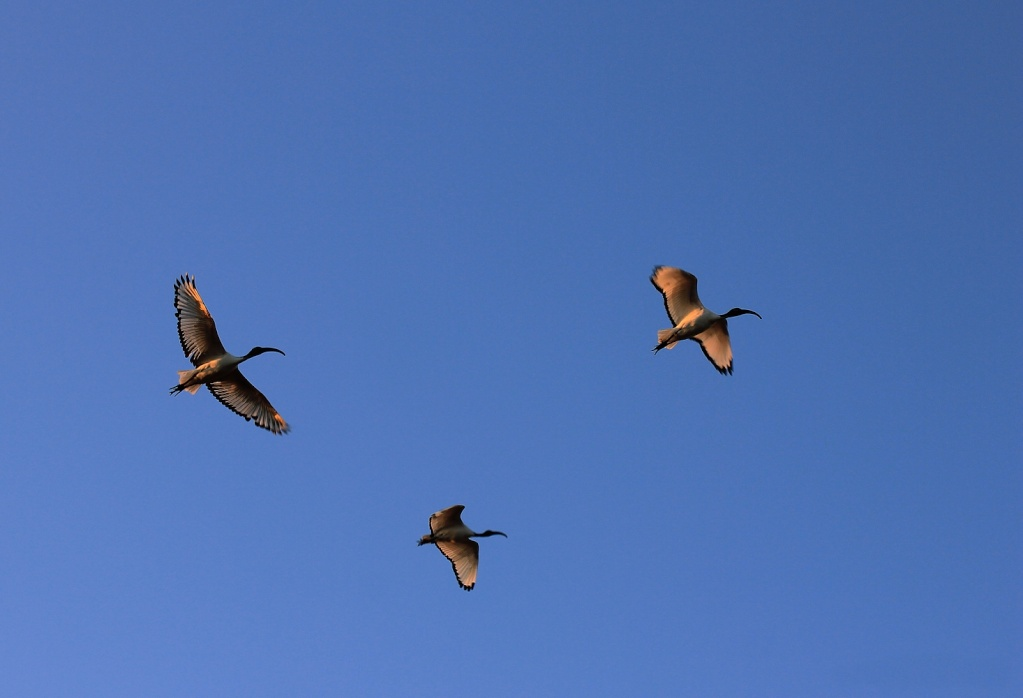 ibis sacrés comme à la maison +ajout  Ibis_f10