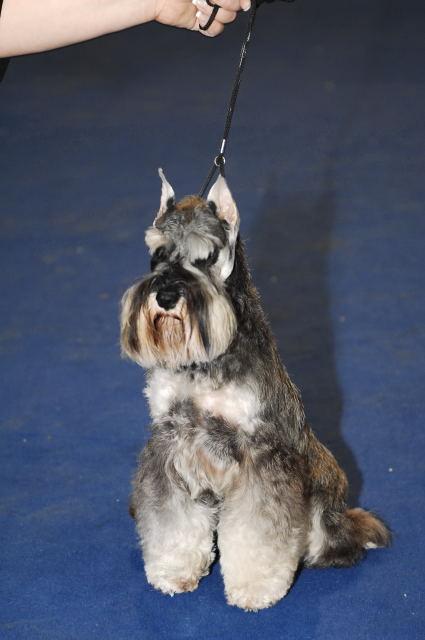 "DOG OTHO'S DIVINA  ""Dolche"" Szs_0610"