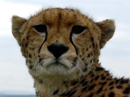 Face to Face with a Cheetah Malaik10