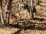 BACCHUS husky sibérien né 2000 calme et docile REF:05  DECEDE - Page 2 39618910