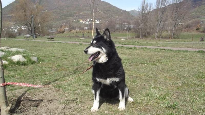 FLORI x husky (f) APAL née en 2002.CHERCHE ADOPTANT SUISSE ASSO ESPAGNE 48589210