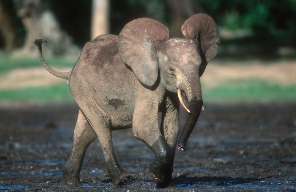 MISSION SURVIE ELEPHANTS .VOULEZ VOUS LES SAUVER Elepha10