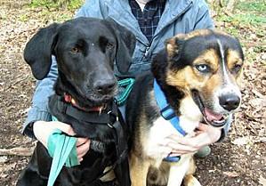 TAZ, husky x Berger, né le 16 mai 2008  besoin de stabilité: REFU91 Taz-et10