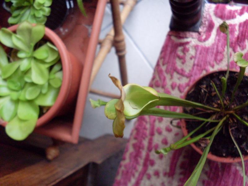 Problème sur Sarracenia Flava!!! Sdc15612
