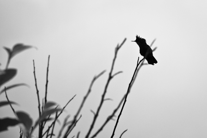 Colibri... Hjnvg_10