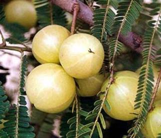 Quelques plantes utilisée en ayurveda Amalak10