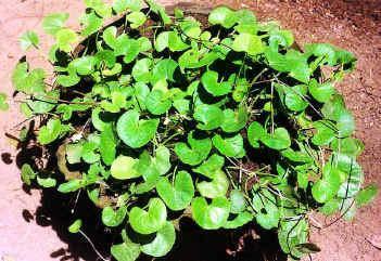 Quelques plantes utilisée en ayurveda Feuill10
