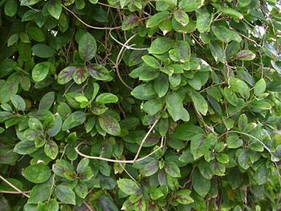 Quelques plantes utilisée en ayurveda Gymnem10