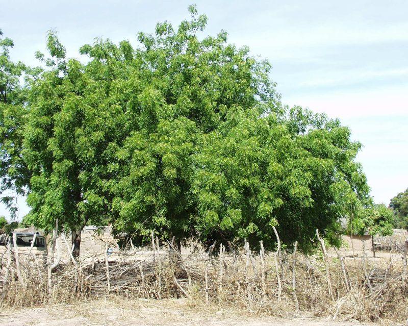 Quelques plantes utilisée en ayurveda Neem10