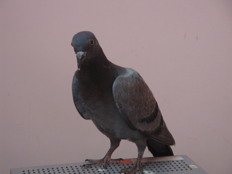 Baby pigeon found - Need help! - Page 3 Sia10