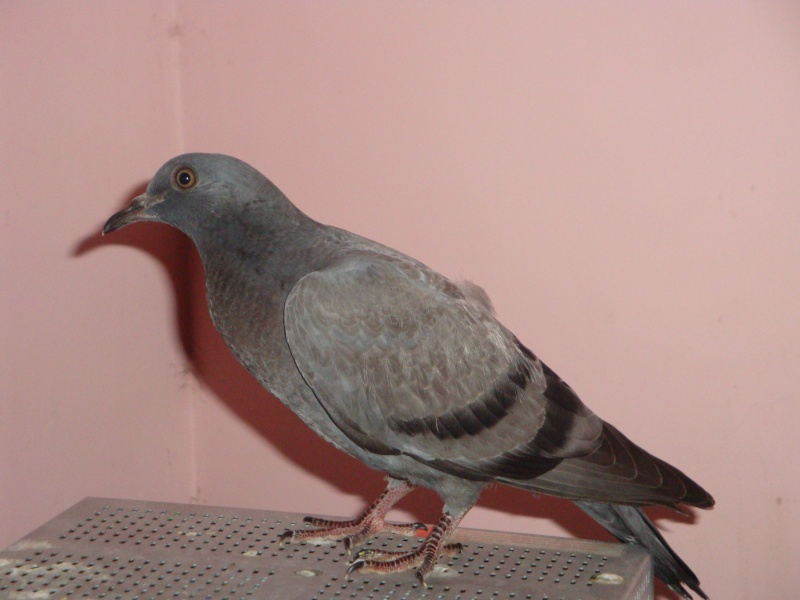 Baby pigeon found - Need help! - Page 3 Sia110