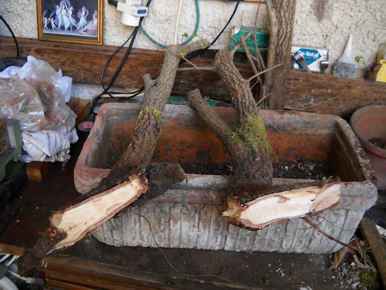 Talee legnose invernali (Giornata da eskimo e doposci) Olmo310
