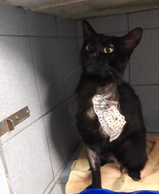 1 chat noir amputé 2 ans Var Male_n11