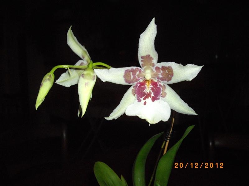 Mes orchidées... par Stape73 - Page 4 Imgp4713