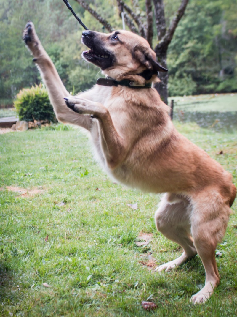 [A L' ADOPTION ] MARLEY chien croisé né le 24/01/2017 chez JULIE ( 24 ) 70656410