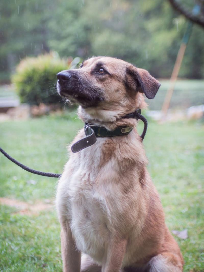 [A L' ADOPTION ] MARLEY chien croisé né le 24/01/2017 chez JULIE ( 24 ) 71004610