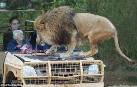 """Mascotte """"Lion Marx"""" Lion_s10"""