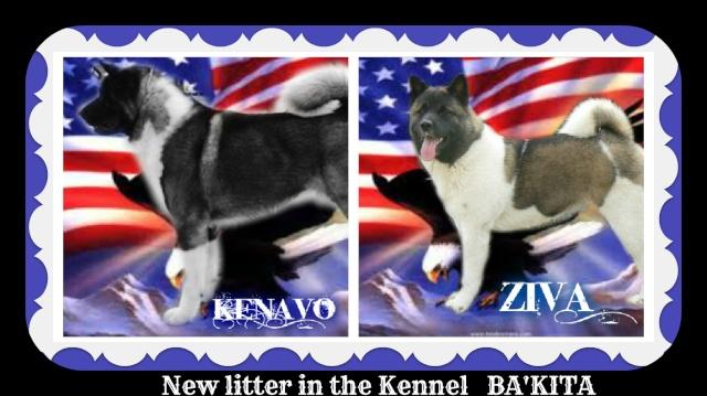 Akita américain chez BA'KITA Kaka_z10