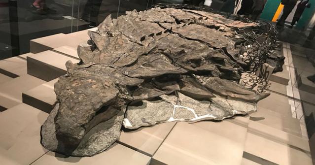 La « momie » d'un dinosaure récemment découverte est si bien conservée qu'elle a même la peau et les intestins intacts Dinosa10