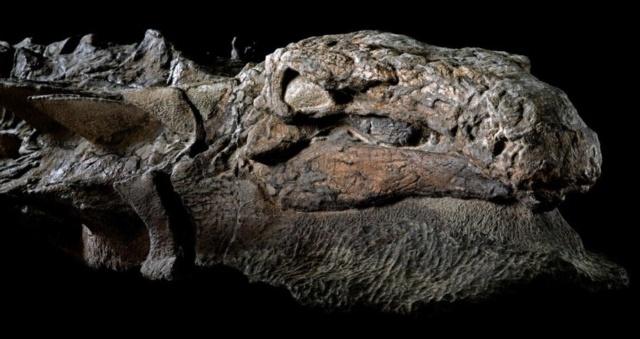 La « momie » d'un dinosaure récemment découverte est si bien conservée qu'elle a même la peau et les intestins intacts Llle9010