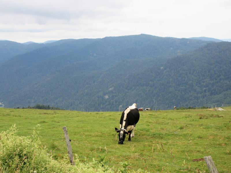 Les balades de Ninie (hors Bretagne) - Page 9 Vache_10