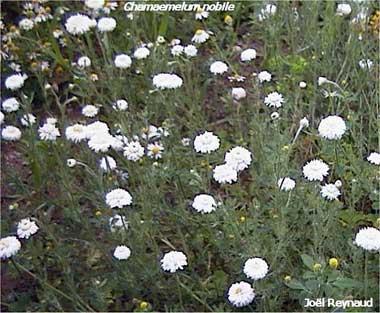 les plantes aux potager Ul_cha10