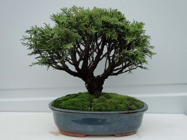 re:chamaecyparis lawsoniana 00710