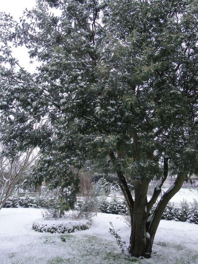 la neige  Mimosa10