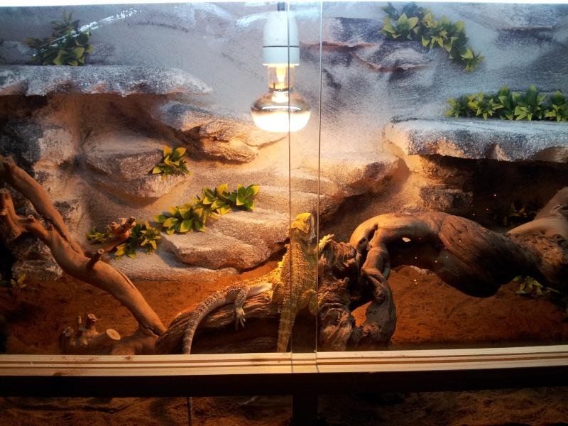 nouveau terrarium pour mes pogo Img_2011