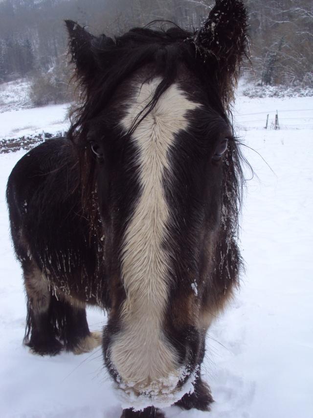 """Votez pour""""  L' irish cob dans la neige """" Dsc02510"""