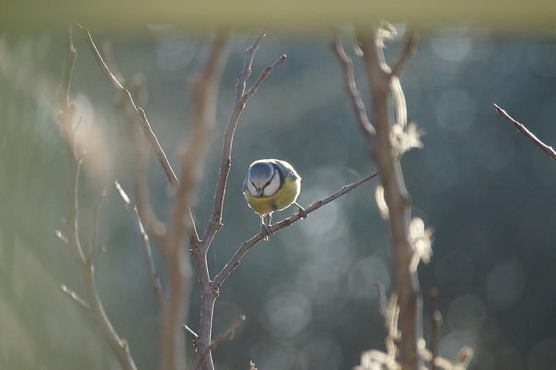 oiseaux du jardin  Dsc07513