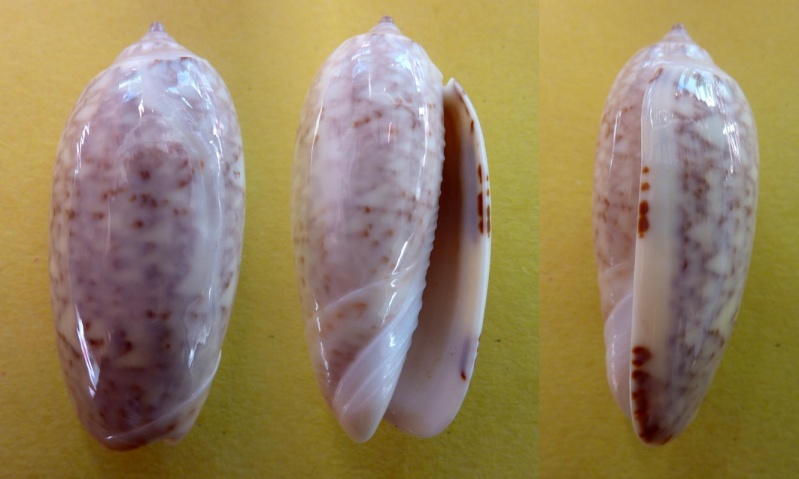 Americoliva tisiphona (Duclos, 1844) Olive_10