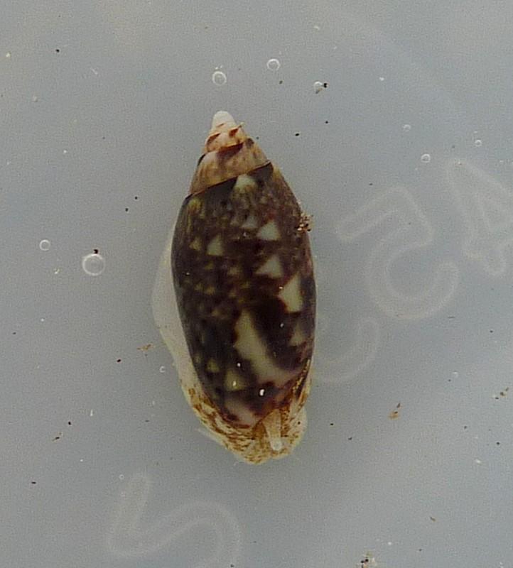 Acutoliva polita (Marrat, 1867) P1070710