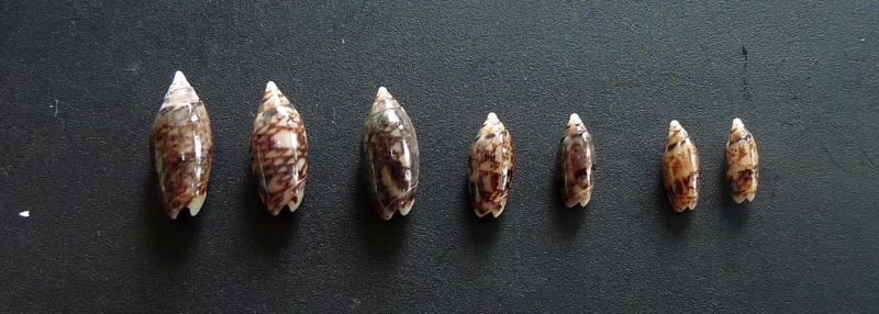 Acutoliva polita (Marrat, 1867) P1080012