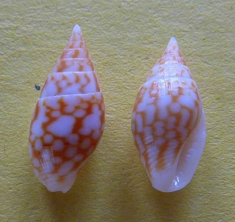 Pardalinops marmorata - (Gray, 1839) P1090421