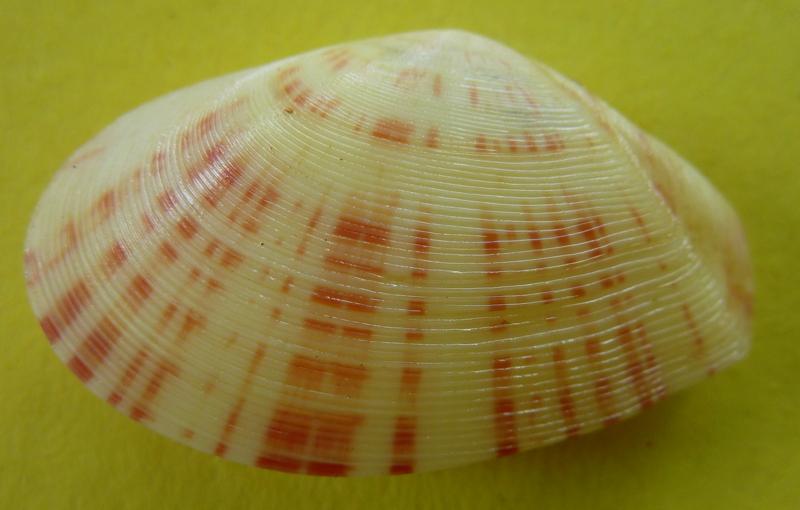 Tellinella cruciata - (Spengler, 1798) P1090425