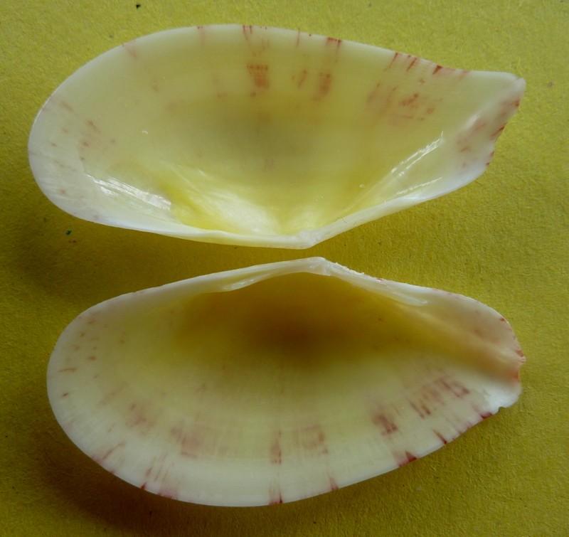Tellinella crucigera - (Lamarck, 1818) P1090432