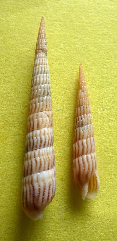 Myurella parkinsoni - (Cernohorsky & Bratcher, 1976) P1090641