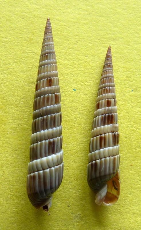 Duplicaria duplicata - (Linnaeus, 1758) P1090643