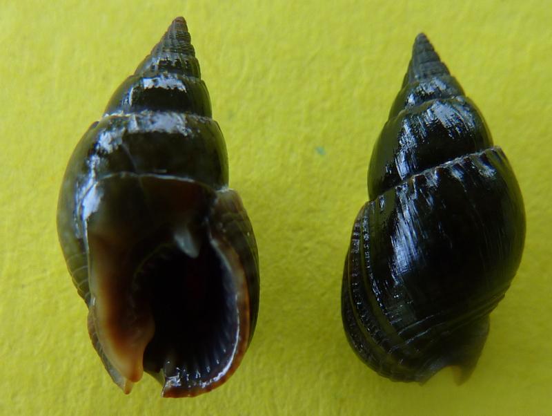 Nassarius reeveanus - (Dunker, 1847) P1090710