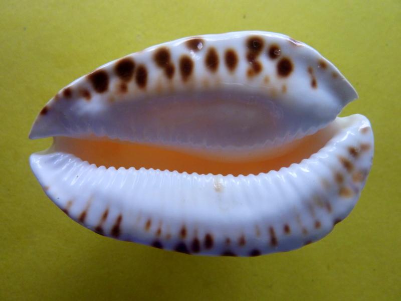 Zoila marginata albanyensis nimbosa - (Raybaudi Massilia, L., 1994) P1090712